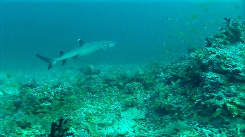 Haai duiken Malediven